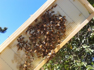 This frame has none of the cells drawn out yet so we're going to remove this frame and shake the bees into their hive.