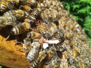 These queen cells get fed with royal jelly so when a cell gets destroyed, they won't let that good stuff go to waste.