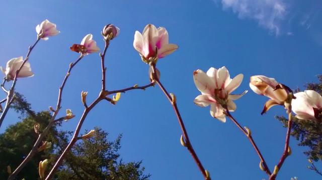 Magnolias blue sky