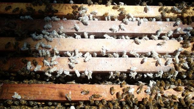 sugary bees