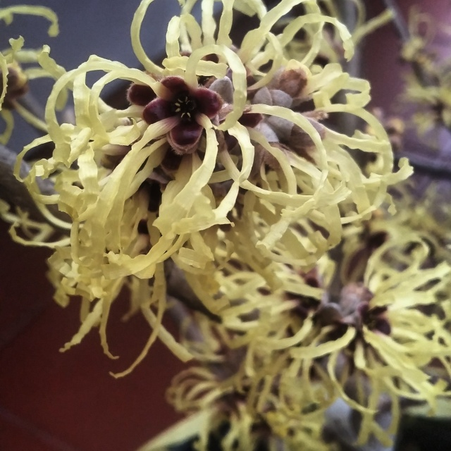 Witch Hazel - Blossomed late December until early February.